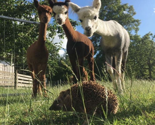Alpakas und Igel