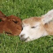 Alpaka Charlie und Elli